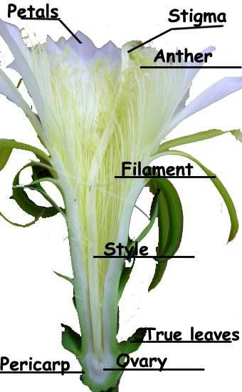 Cacti Flower Anatomy.